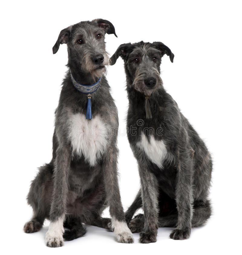 främre irländare som sitter två siktswolfhounds fotografering för bildbyråer