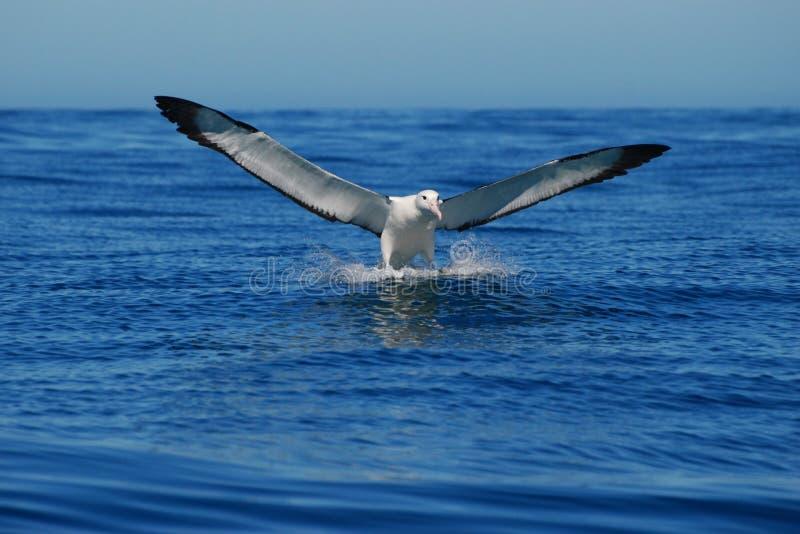 främre landning för albatross fotografering för bildbyråer