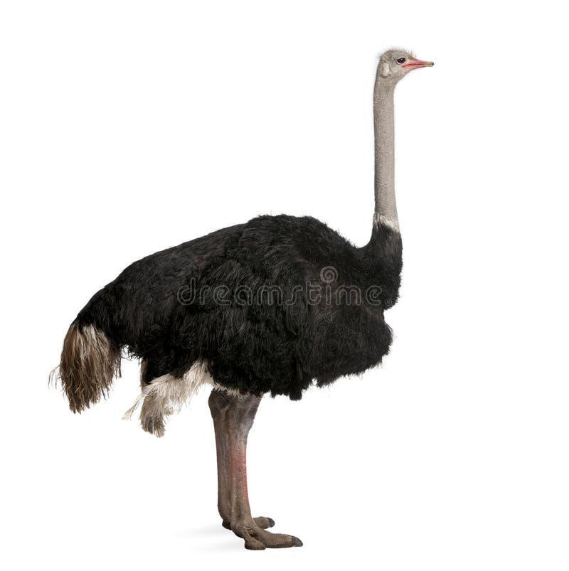 främre male ostrichwhite för bakgrund royaltyfri bild