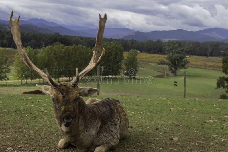 Främre profil av den gamla fullvuxna hankronhjorten med horn mot berg fotografering för bildbyråer