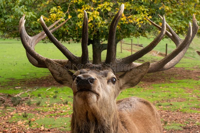 Främre profil av fullvuxna hankronhjorten som visar stora horn arkivfoto