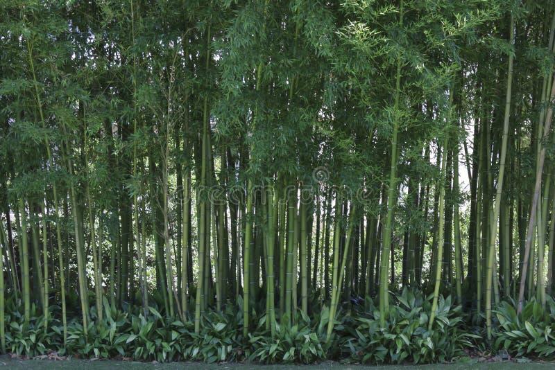 Främre sikt av bamburottingar royaltyfri foto