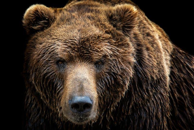 Främre sikt av brunbjörnen som isoleras på svart bakgrund arkivbild