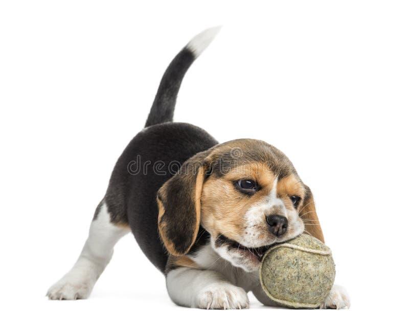 Främre sikt av en beaglevalp som spelar med en tennisboll arkivfoton