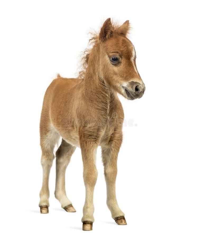 Främre sikt av en ung poney, föl mot vit bakgrund royaltyfria bilder