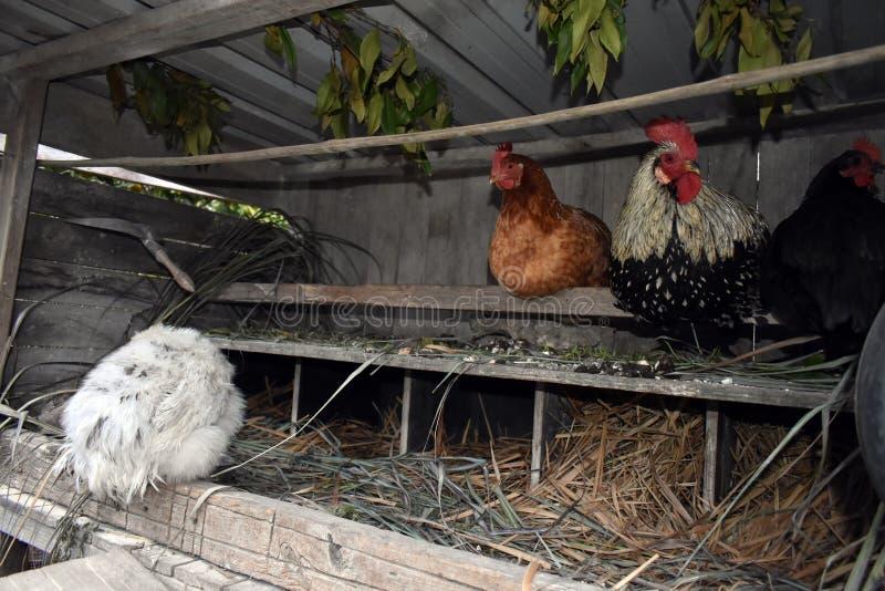 Främre sikt av hönor som bygga bo i en liten lantgårdhönacoop royaltyfri fotografi