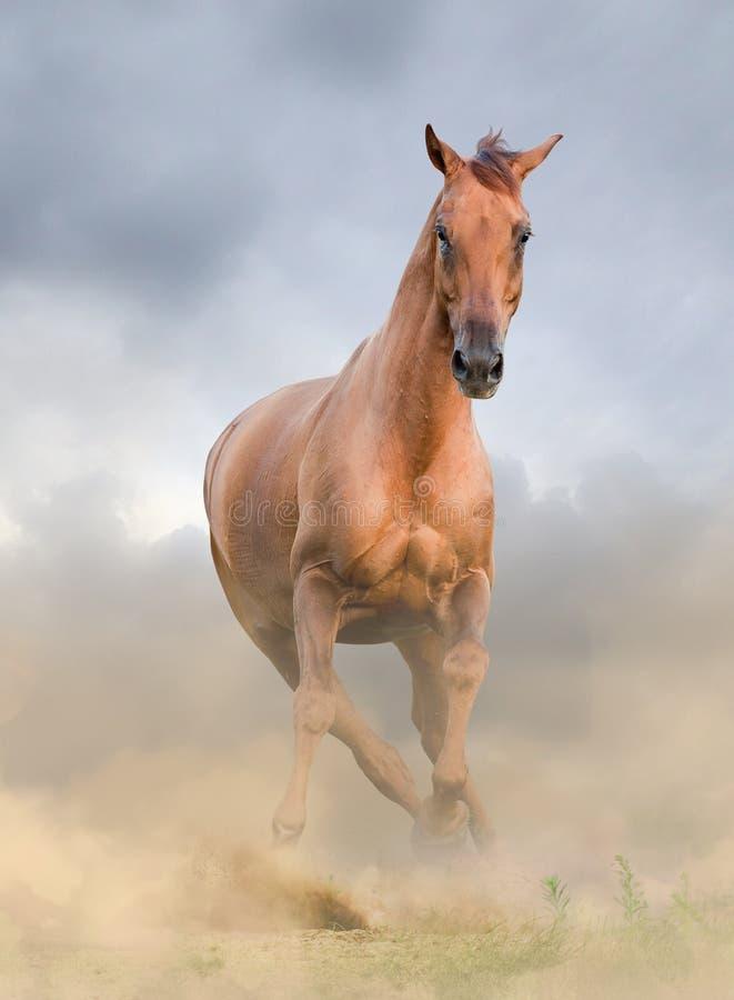 Främre sikt för härlig kastanjebrun häst royaltyfria foton