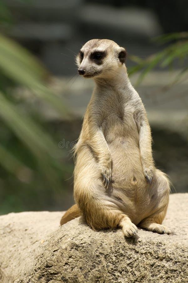 frågvis meerkatsitting arkivfoton