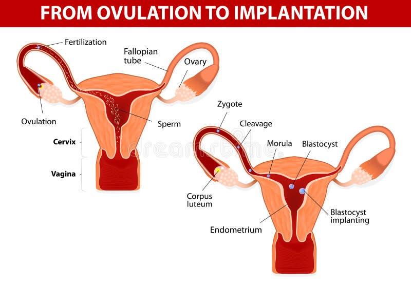 Från ägglossning till det att inplantera stock illustrationer