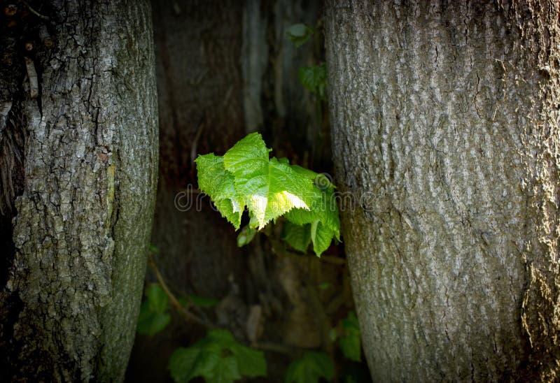 Från de växande vårsidorna för gammalt träd arkivfoton
