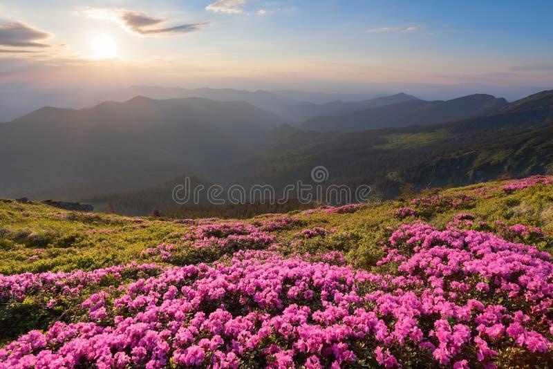 Från gräsmattan som täckas med förträffliga rosa rhododendroner öppnas den pittoreska sikten, till höga berg, dalen, rosa himmel, royaltyfria bilder