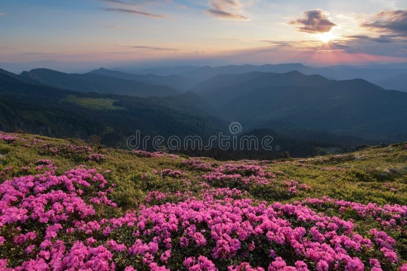 Från gräsmattan som täckas med förträffliga rosa rhododendroner öppnas den pittoreska sikten, till höga berg, dalen, rosa himmel royaltyfria foton