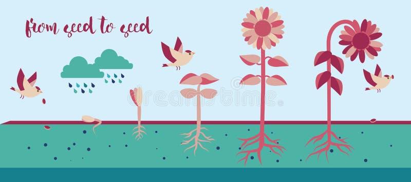 Från kärna ur till kärnar ur process för växttillväxt vektor illustrationer