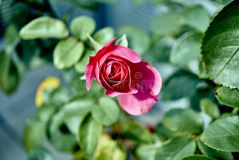 Från min samling av rosor arkivbilder
