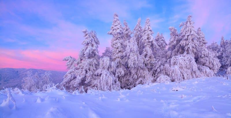 Från snön är täckt gräsmatta där en sikt till trevliga träd som täckas av frost och snö Ljus - rosa solstrålar av solnedgången royaltyfria foton