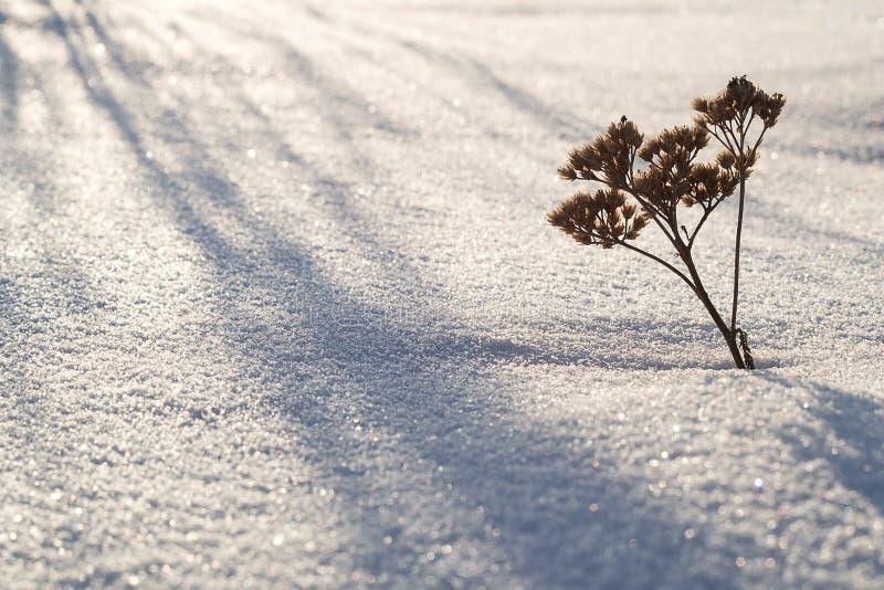 Från snön klibbar ut ett torrt grässtrå arkivfoto