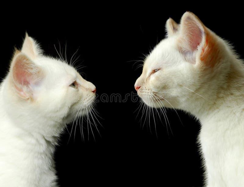 Frères de chaton photo stock