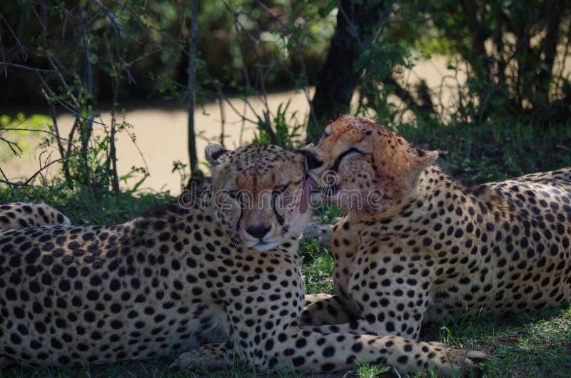 Frères de guépards nettoyant le sang des visages images libres de droits