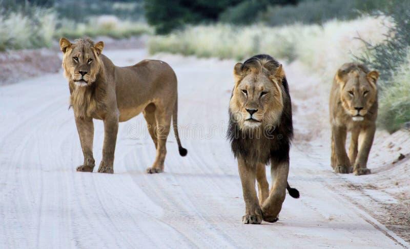 Frères de lion photos stock