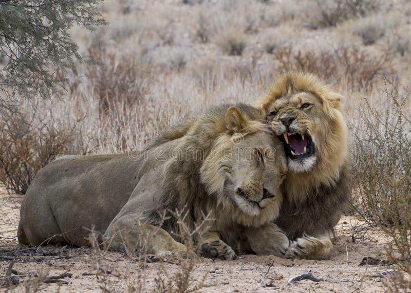 Frères masculins de lion photo stock