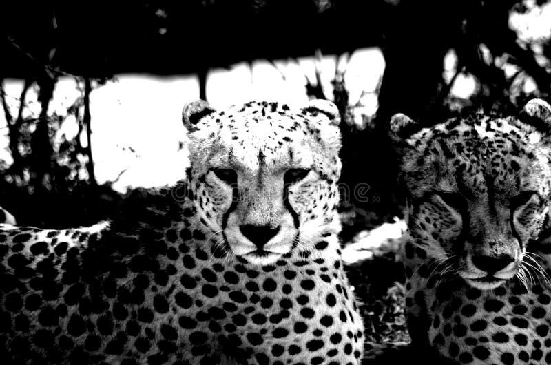 Frères noirs et blancs de guépard photographie stock libre de droits