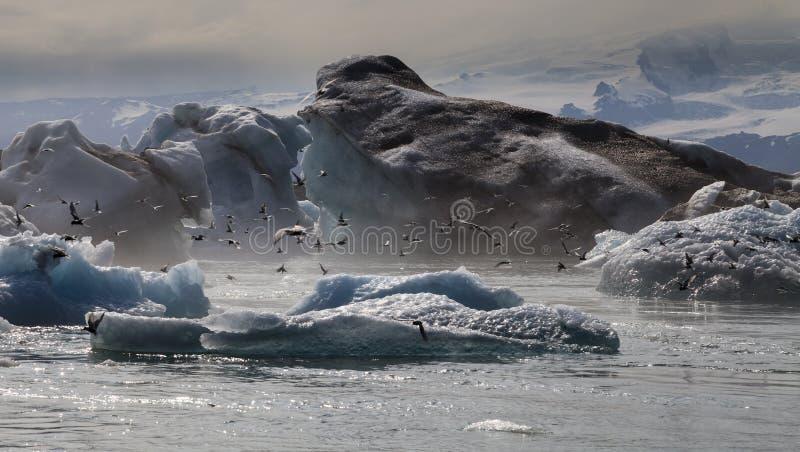 Frénésie d'oiseau, lagune glaciaire de Jökulsárlón, Islande image stock