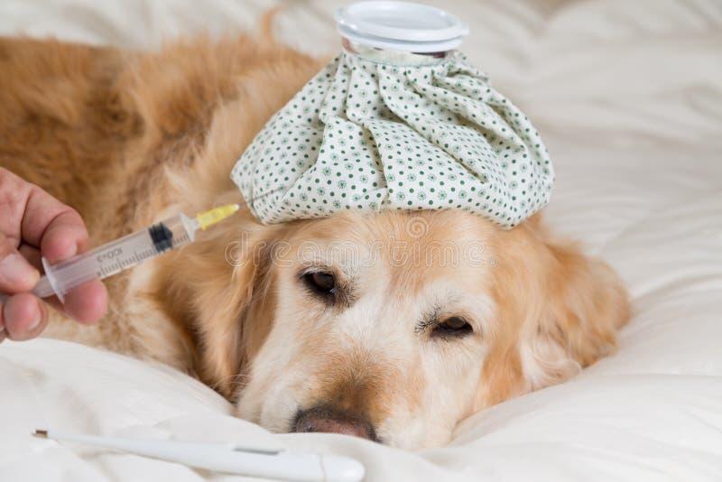 Frío del perro del golden retriever fotografía de archivo