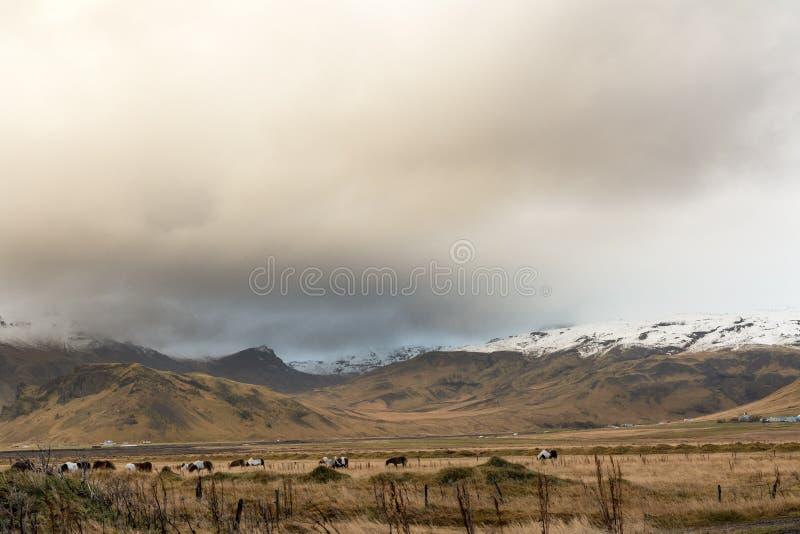 Frôlant le troupeau de vaches dans le paysage de l'Islande, à l'arrière-plan d'une montagne neigeuse image stock