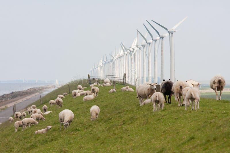 Frôlant les moutons s'approchent des moulins à vent le long d'une digue hollandaise photos stock