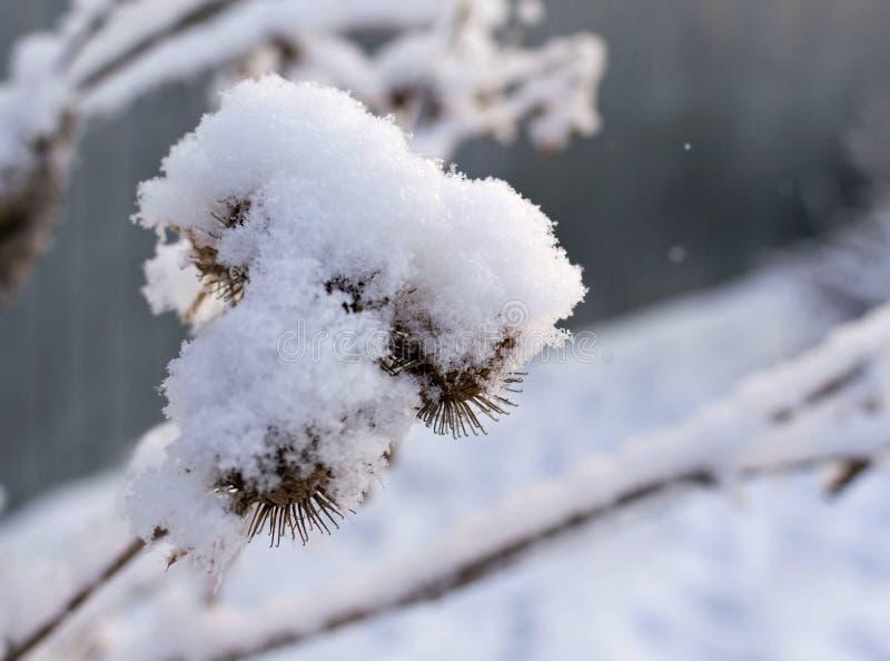 Frö av tistlar som täckas i ny snö royaltyfri bild
