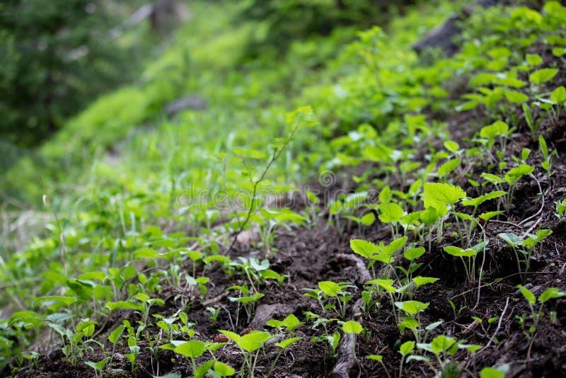 Frö som växer in i gröna växter i Rocky Mountain National Park royaltyfri bild