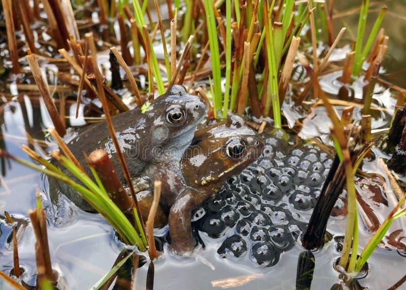 Frösche, die in einem Teich laichen stockbilder