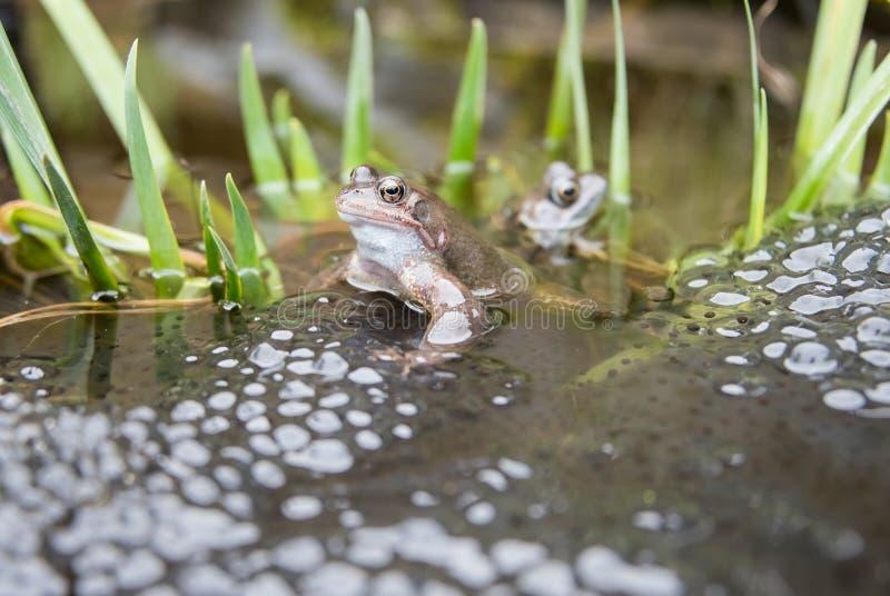 Frösche und Frogspawn stockfotos