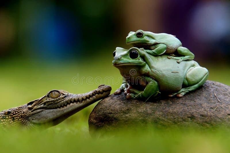 Frösche und Krokodil lizenzfreies stockfoto