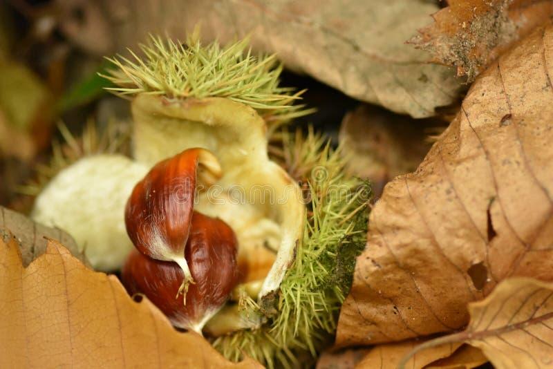 Fröt av det söta kastanjebruna trädet - sativa Castanea arkivfoto