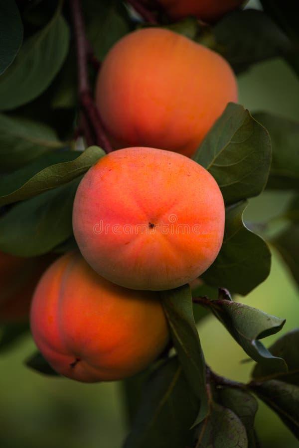 Früchte der Persimone auf dem Baum stockfotos