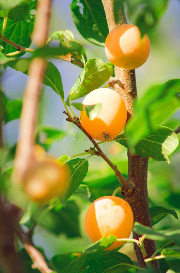 Früchte einer gelben Pflaume auf einem Baum Vertikale Fotographie stockfotos