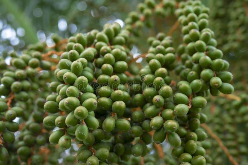 Früchte eines Dattelpalmebaums im sonnigen Sommer stockbild
