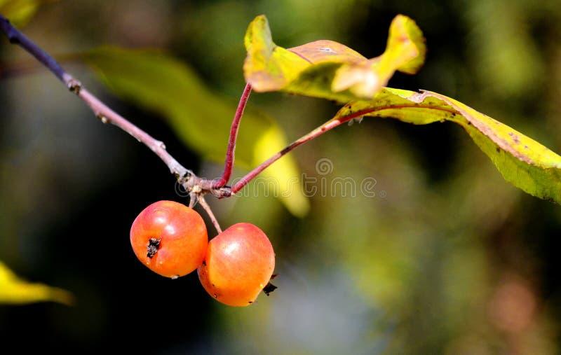 Früchte, Gemüse, Beere Sibirien lizenzfreies stockfoto