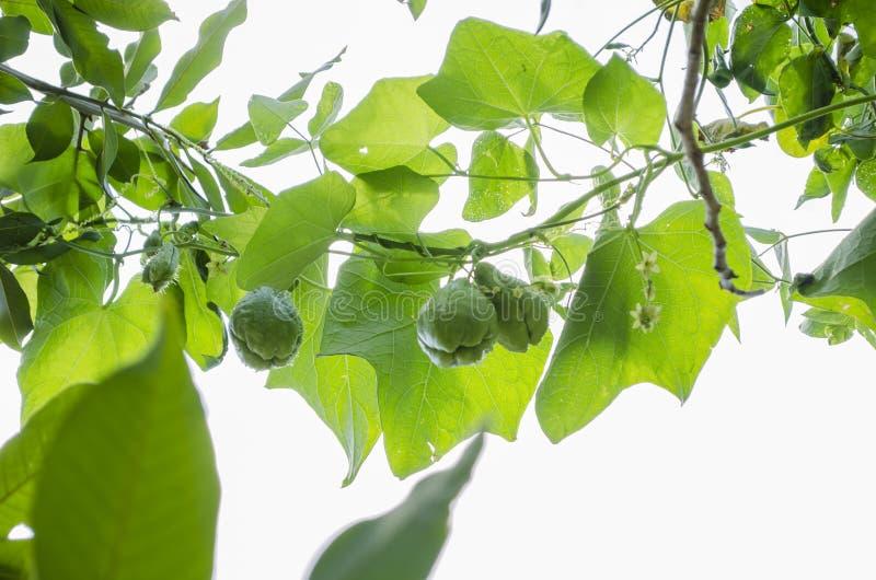Früchte und Blüte Christophine auf Rebe stockbild