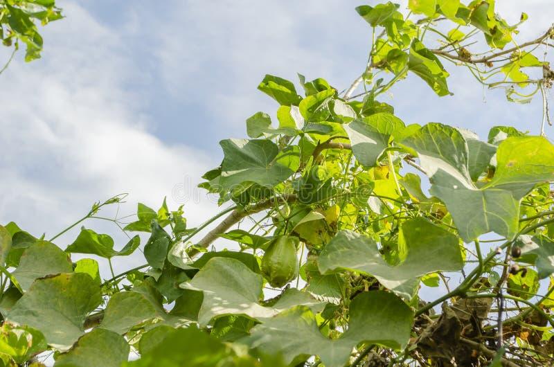 Früchte und Blüte Christophine auf Rebe stockfotos