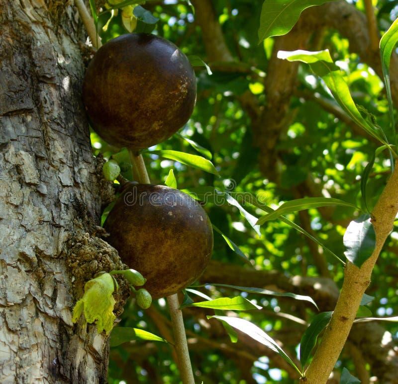 Früchte und Blumen des Kalebassebaums stockbilder