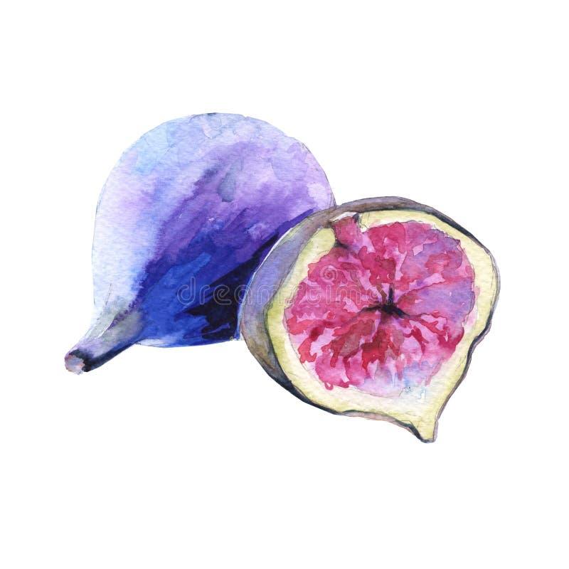 Früchte von Feigen Getrennt auf weißem Hintergrund lizenzfreie abbildung