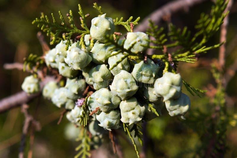 Früchte von thuya stockfoto