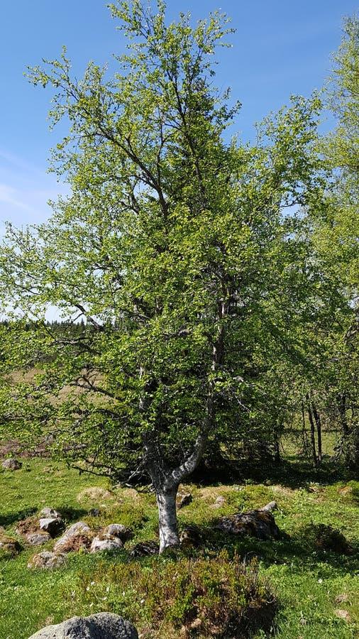 Frühe blühende Phase, im Anfang des norwigian Sommers lizenzfreie stockfotografie