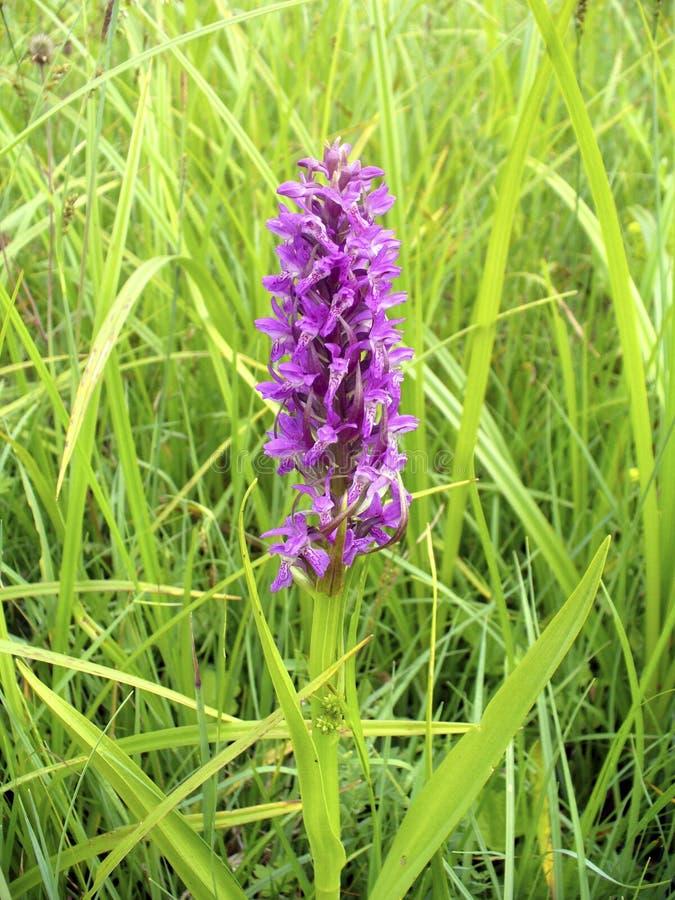 Frühe Sumpf-Orchidee lizenzfreies stockfoto
