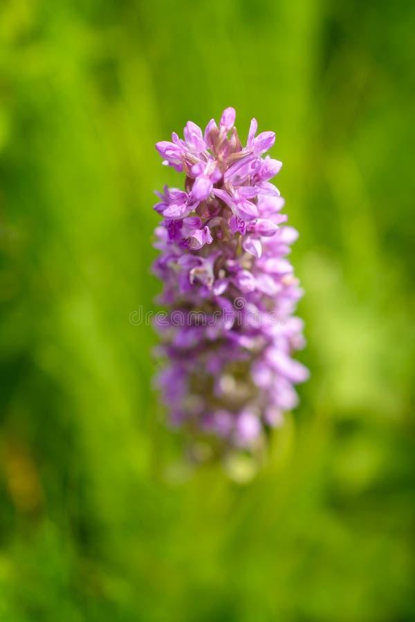 Frühe Sumpf-Orchidee (Dactylorhiza incarnata) lizenzfreies stockfoto