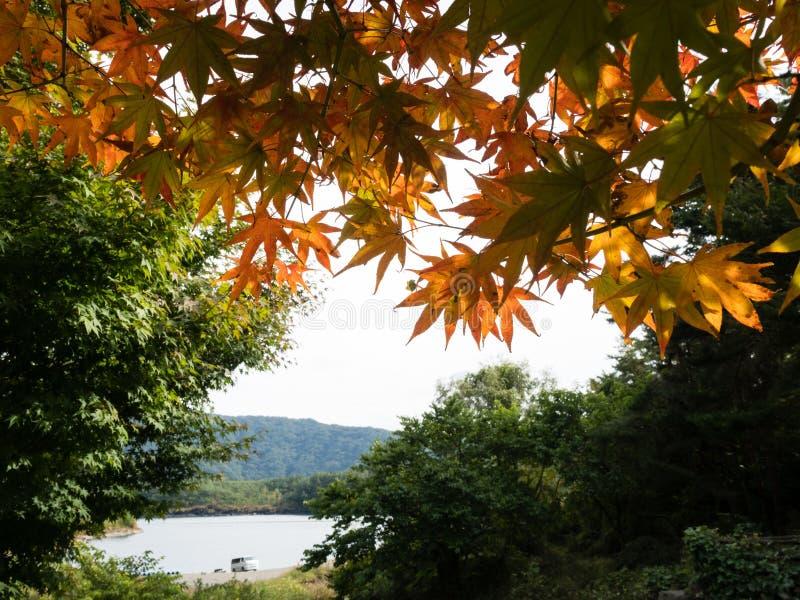 Früher Fall am See Saiko - Fuji fünf Seen, Japan lizenzfreies stockfoto