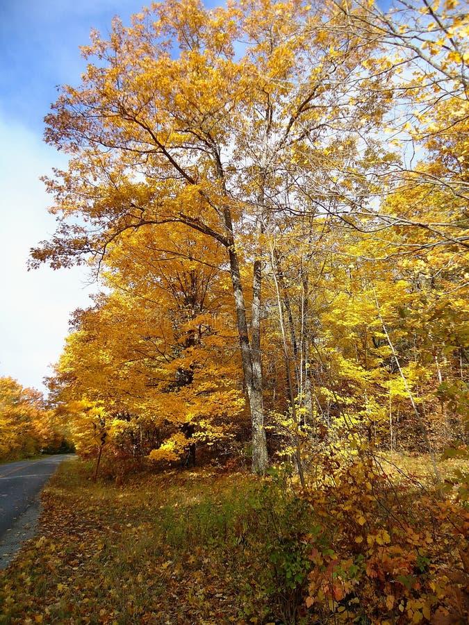 Früher Morgen-goldene Fall-Bäume lizenzfreie stockbilder