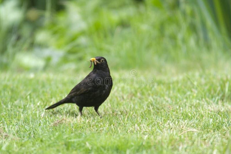 Früher Vogel fängt die Endlosschraube ab lizenzfreie stockbilder